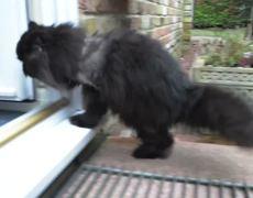 Amazing two legged cat
