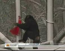 Chimps in England get Valentines Day treat
