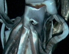 Giant squid filmed in deep sea habitat for the first time