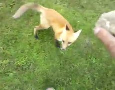 Here Is A Fox Playing Fetch