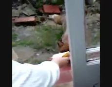 Hand feeding Fox
