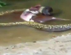 Shocking moment gaint anaconda Regurgitates whole COW
