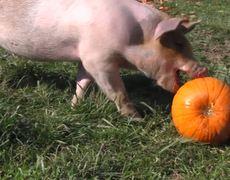 Cute Pigs and Pumpkins