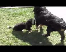 Dog walks the puppy for the first time