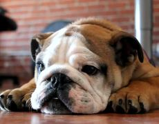 Enojon Bulldog Ingles Videos Metatube