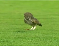 Owl butterfly hunting in soccer game