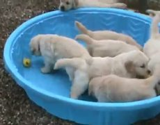 How to make 5 week old golden retriever puppies really mad