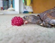 Linda bebe tortuga comiendo frambuesa