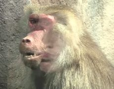 Monkey turns into human
