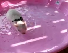 Cutest dive ever by little piggy