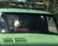 Men carrying cow in small car