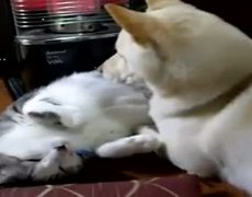 Dog uses Cat as Pillow Amazing