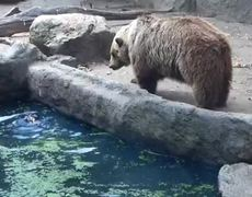 Bear rescues raven a drowning