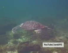 Friendly turtles do a high five