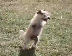 Two Legged Dog Is Adorable