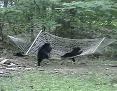 Two Bears Enjoying A Hammock