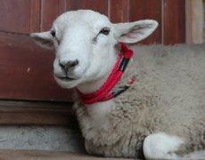 Amazign the sheep who thinks he's a dog