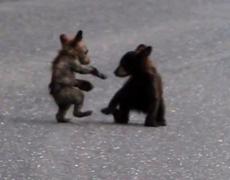 Tiny Bear Cub Fight