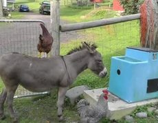 Star is Born. Meg The Chicken Takes A Ride On Fanny