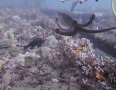 Octopus vs divers hand