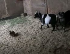 Bunny Courageously Takes On Goat