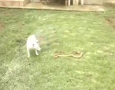 Cobra vs Dog Who Will Win