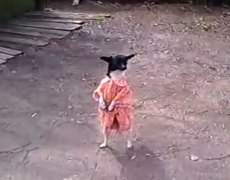 Dog in dress walks on two