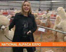 Alpacas lo hacen mientras reportera esta en vivo