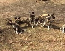 Wild Dog Puppies Debut at Chicago Zoo