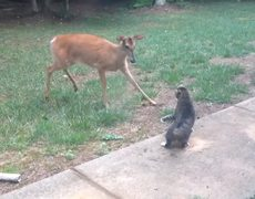 Deer vs cat