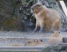 Child capybara enjoys hot spa shower