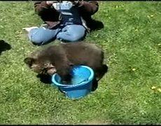 Grizzly bear cub in a bucket
