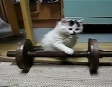 Little Kitten Plays with a Barbell