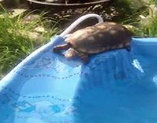 Tortoise Takes a Dip