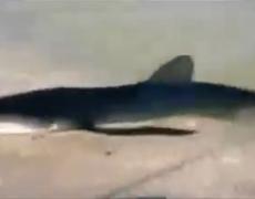 Shark swims onto New Jersey beach