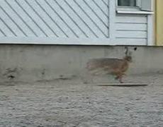 Bunny Rabbit Vs Crows