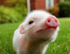 10 things you probably were unaware of pigs