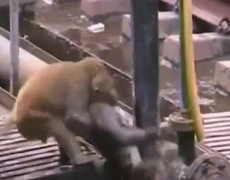 Monkey saves another of being electrocuted