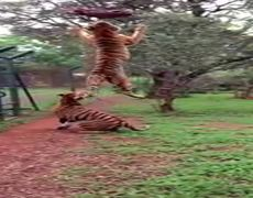Amazing Animals: Tiger jumps to catch meat in Slo Mo