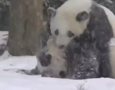 Baby panda plays in the snow for the first time