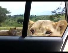Lion open the door