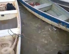 Alimentando pirañas en rio de Brasil