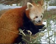 Adorable Red Pandas Play in the Snow