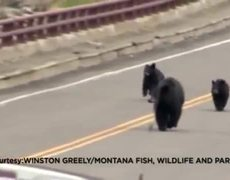 Raw - Black bear with cubs chases Yellowstone tourists