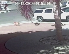 Cat saves a child from a dog attack