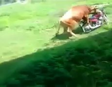 LOL Bull make love to a motorcycle