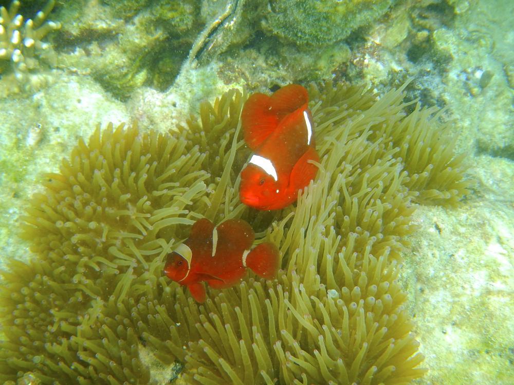 La relación entre los peces payaso y las anémonas es tan grande, que esta especie también se conoce como pez anémona