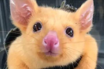 Pikachu existe y está en Australia