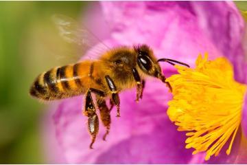La abeja es declarada como el ser vivo más importante del planeta