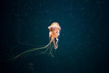 Encuentran medusa gigante ¡Es del tamaño de un humano!